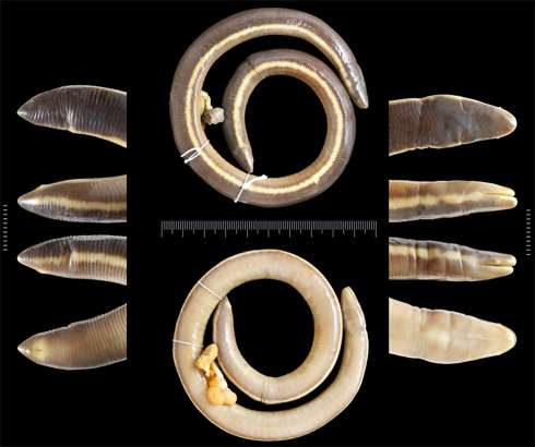 Scientists have named the 200th caecilian species