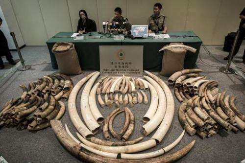 Seized ivory tusks displayed by Hong Kong Customs officials in Hong Kong on October 3, 2013