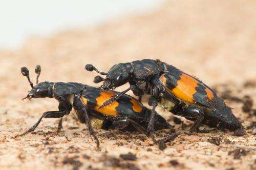 Sexual conflict affects females more than males, says new research on beetles