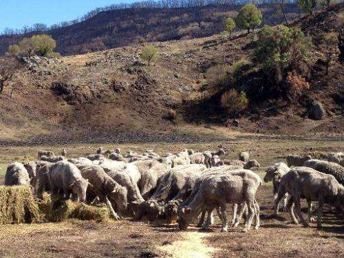 Sheep graze in the bushfire-scarred mountainous terrain near the town of Coonabarabran in south-eastern Australia