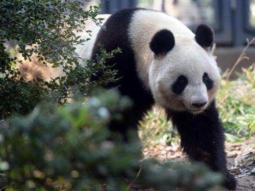 Shin Shin, a female giant panda, walks in her enclosure at Ueno zoo in Tokyo on March 4, 2014