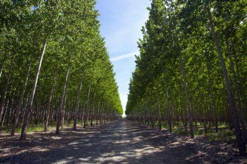 Signatures of selection inscribed on poplar genomes