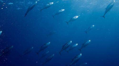 Skipjack tuna fare better under high-res model