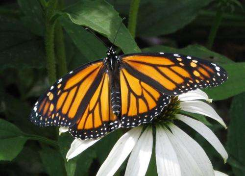 Skipping meals may affect butterfly wing size, coloration
