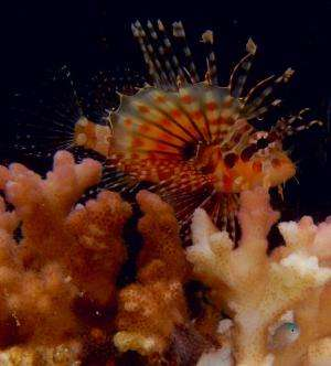 Lionfish found to use flared fin display to instigate cooperative hunting