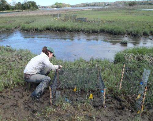 Studies affirm crabs killing Northeast saltmarshes