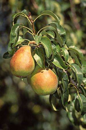 Studies explore storage ideas for Anjou pears