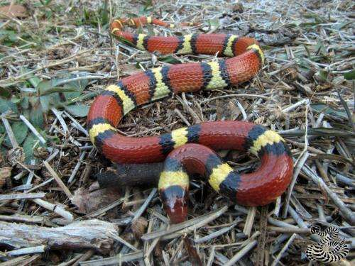 Study finds mimicry increased in scarlet kingsnake snake after disappearance of coral snake