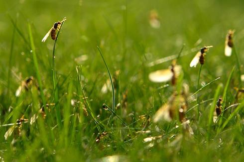 Survey debunks myth of 'flying ant day'