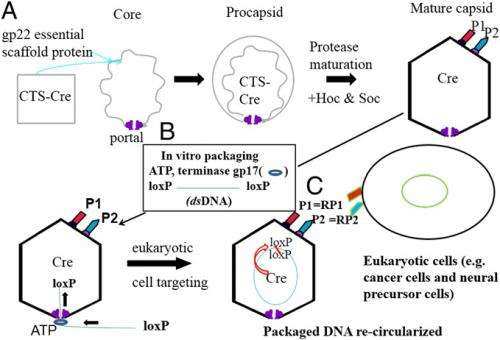 T4 capsid-derived specific exogenous DNA plus protein packaging and eukaryotic cell delivery scheme