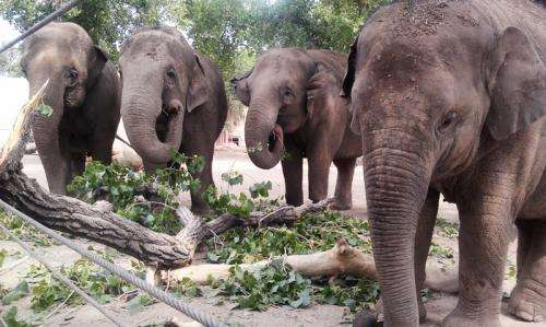 Team studies immune response of Asian elephants infected with a human disease
