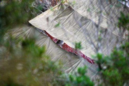 The body of a dolphin, seen through a gap in a tarpaulin covering, floats in bloody waters after the slaughter of a group dolphi