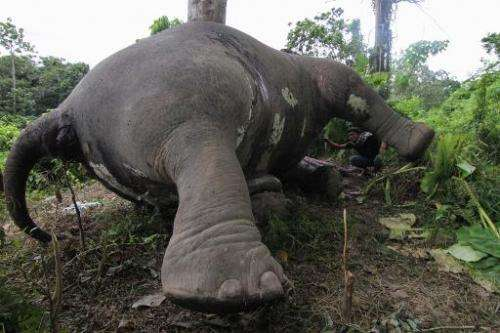 The carcass of a male Sumatran elephant, its head and trunks mutilated and ivory tusks missing, in Aceh Jaya district on Indones