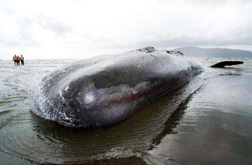 The dead body of a 15 metre sperm whale lies on Paraparaumu beach on the Kapiti Coast in New Zealand on January 16, 2013