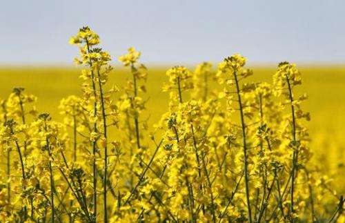 The sun shines down on a field of canola plants on April 19, 2011