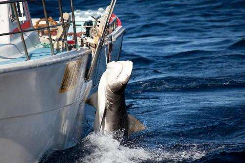 This image taken on February 22 by the Sea Shepherd Australia Ltd shows a tiger shark caught off Moses Rock in Western Australia