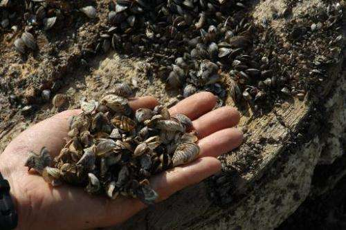 This September 23, 2011 photo shows a man holding a handful of Zebra mussels near Kingston, Canada