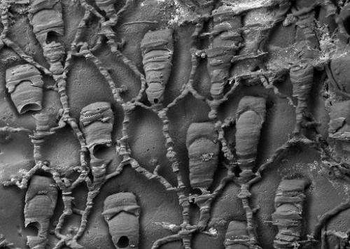This undated image shows a scanning electron microscope image of a resin cast of the polyp chambers and connections of Protuloph