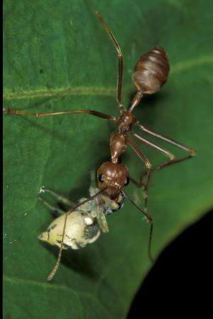 Timid jumping spider uses ant as bodyguard