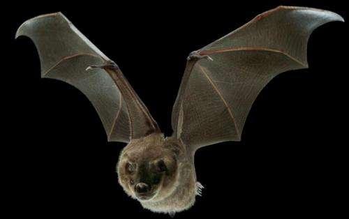 Tiny muscles help bats fine-tune flight, stiffen wing skin