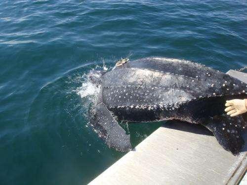 Tracking endangered leatherback sea turtles by satellite, key habitats identified