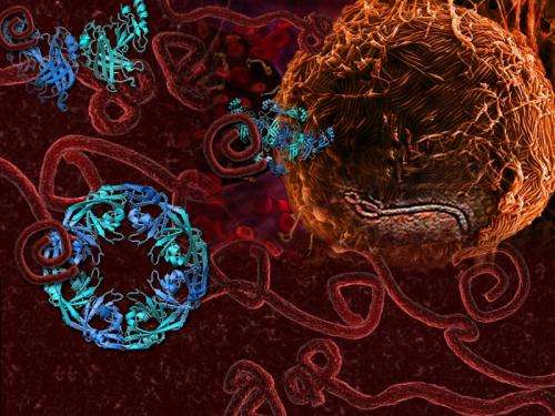 'Transformer' protein provides new insights into Ebola virus disease