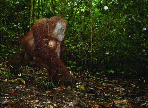 Tree-dwelling orangutans on ground