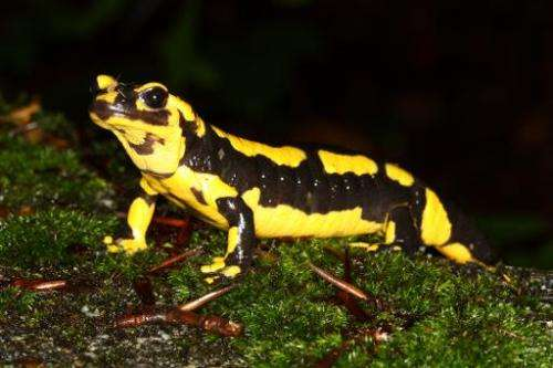 Undated photo courtesy of the Imperial College London shows a fire salamander