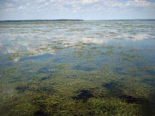 Underwater grass comeback bodes well for Chesapeake Bay