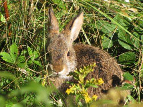 UNH NHAES researchers work to save endangered New England cottontail