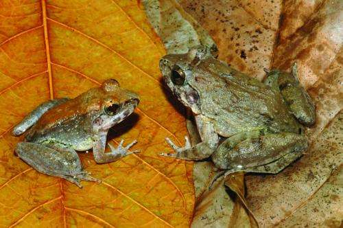 Unique Sulawesi frog gives birth to tadpoles
