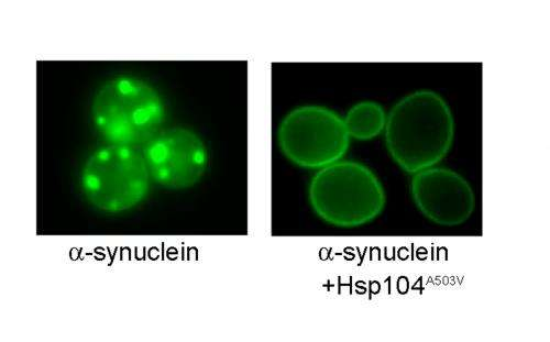 Unraveling misfolded molecules using 'reprogrammed' yeast protein