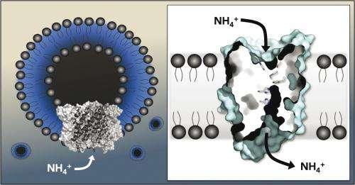 Using artificial lipid vesicles, biochemists show how membrane proteins transport ammonium