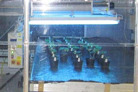 UV-B light zaps cucumber disease