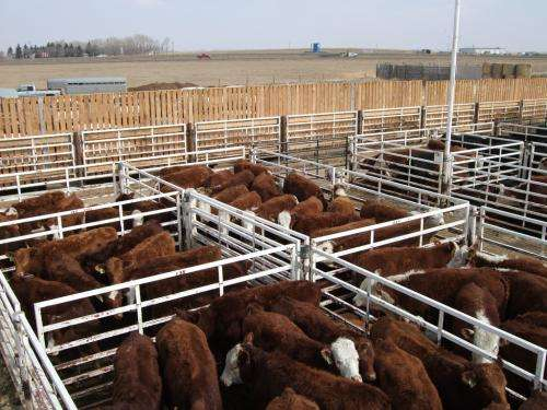 Veterinary research highlights refocus for cattle export