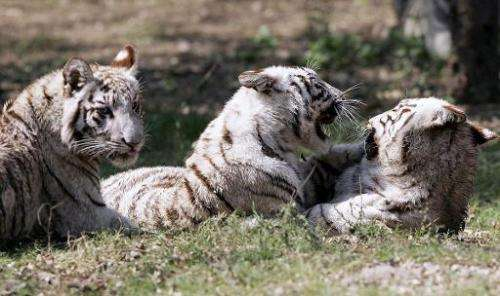 White tiger cubs play in their enclosure at the Zoological park in New Delhi, on March 3, 2007