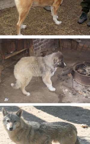 Wolves at the door: Study finds recent wolf-dog hybridization in Caucasus region