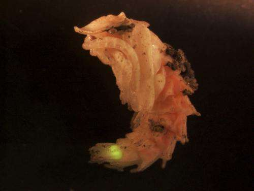 Work shines light on Hox genes responsible for firefly lantern development