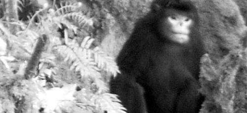 World's first video footage of the Myanmar snub-nosed monkey captured