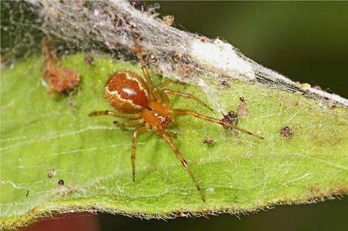 Study shows social comb-footed spiders have two distinct types of personalities