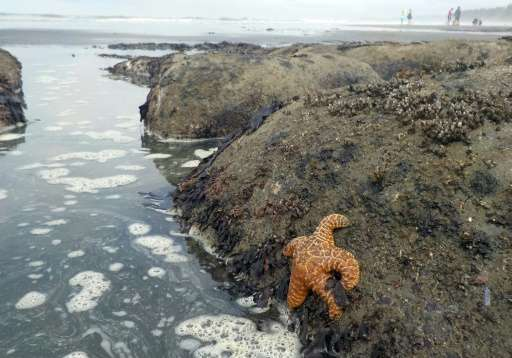 An Ochre sea star (Pisaster ochraceus), also called starfish, is seen in the tidepools of Kalaloch Beach 3 in the Olympic Nation