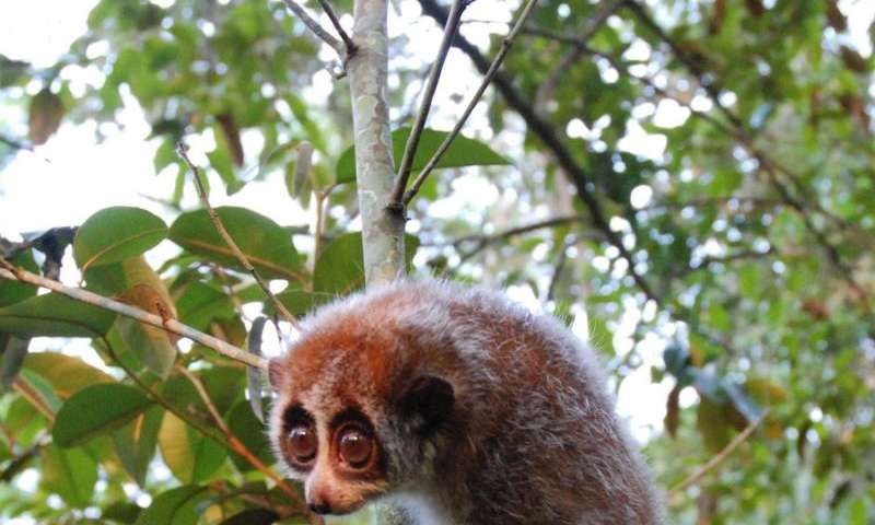 First discovery of a hibernating primate outside Madagascar