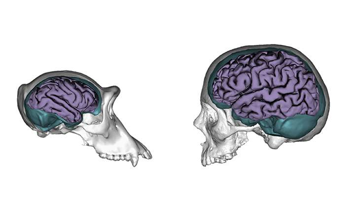 Nature and nurture: Human brains evolved to be more responsive to environmental influences