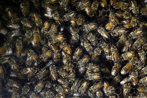Popular pesticide hurts wild bees in major field study
