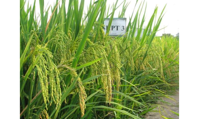 improving salinity tolerance in rice using Components of salinity tolerance in wheat a thesis submitted in fulfilment of the requirements for the degree of doctor of philosophy at the university of adelaide.