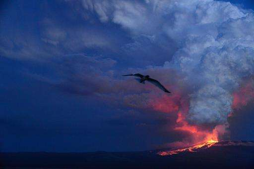 Galapagos volcano calms, pink iguanas out of danger