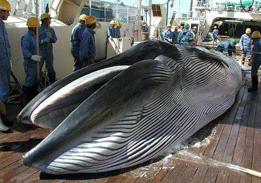 Japan must do more to justify whaling plans: IWC