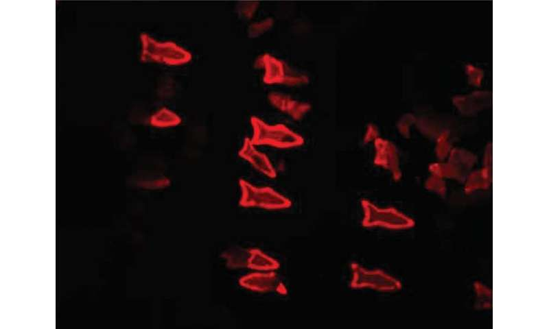 These microscopic fish are 3-D-printed to do more than swim