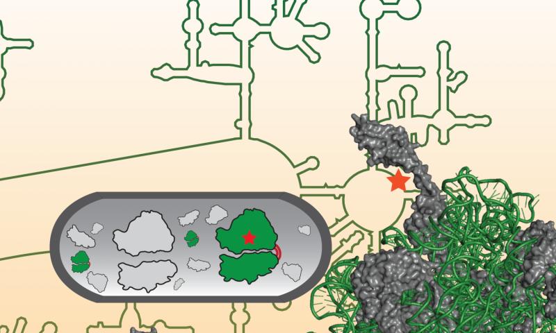 Researchers design first artificial ribosome