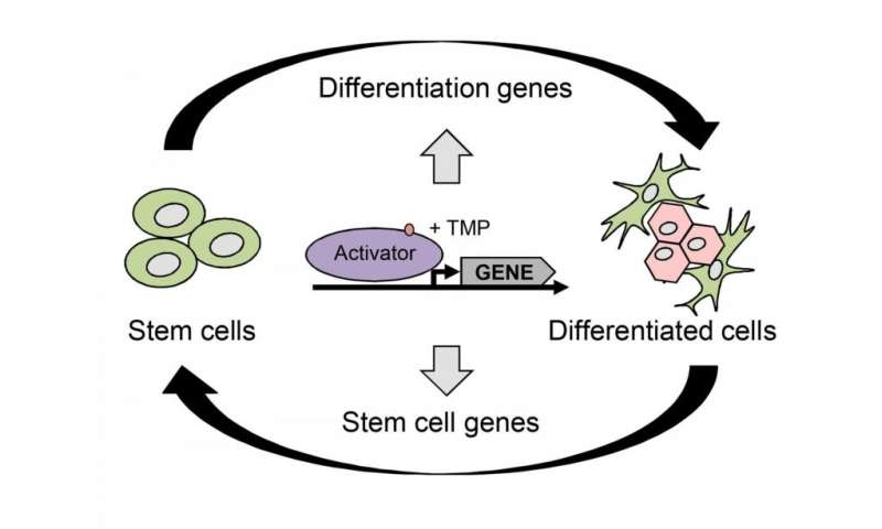 Researchers develop a method for controlling gene activation